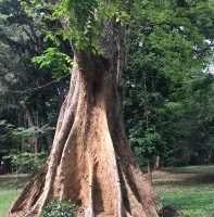 Kandy. Un albero ricco di curiose