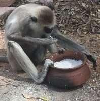 Anuradhapura. Una scimmia impegnata a consumare del riso dentro una pentola.