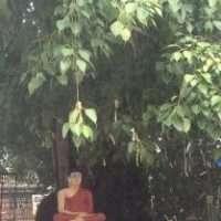 Kandy. L'albero della Bodhi nato da una talea portata da Bodh Gaya, dove Buddha raggiunse l'illuminazione.