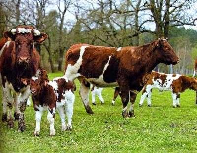 mucche_aperto